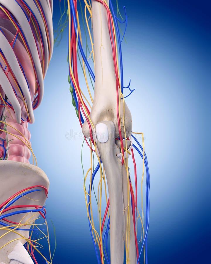 La anatomía del codo stock de ilustración. Ilustración de salud ...