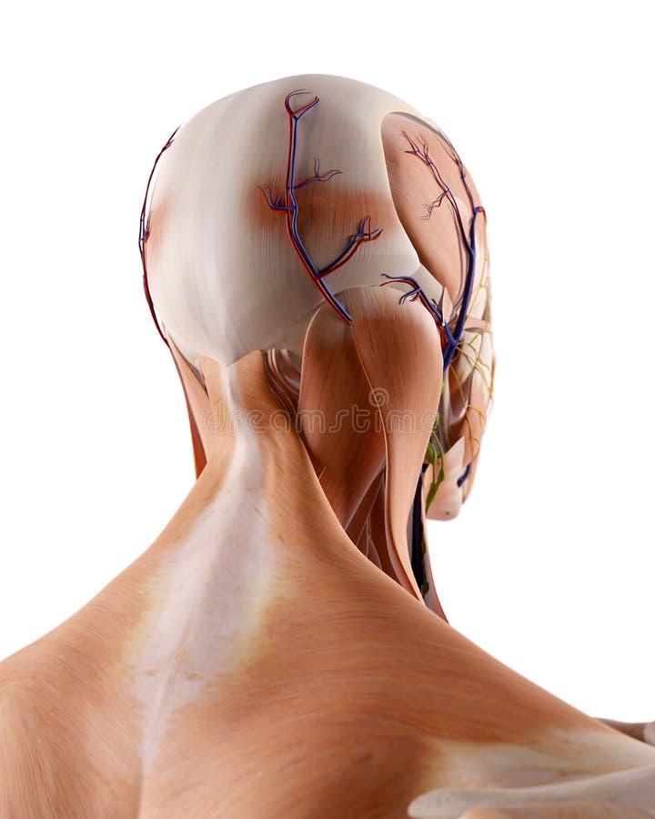 La anatomía del cuello ilustración del vector