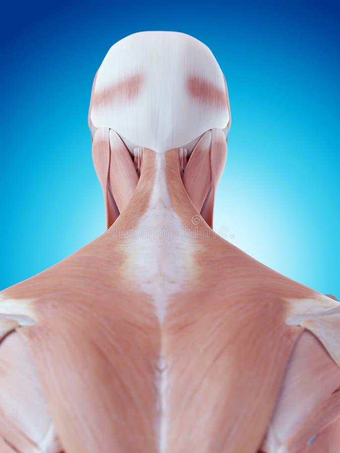 La anatomía del cuello stock de ilustración. Ilustración de ...