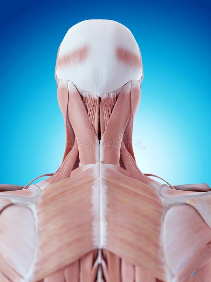La anatomía del cuello stock de ilustración