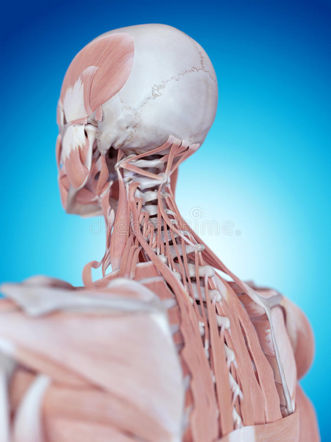 La anatomía del cuello stock de ilustración. Ilustración de hombre ...