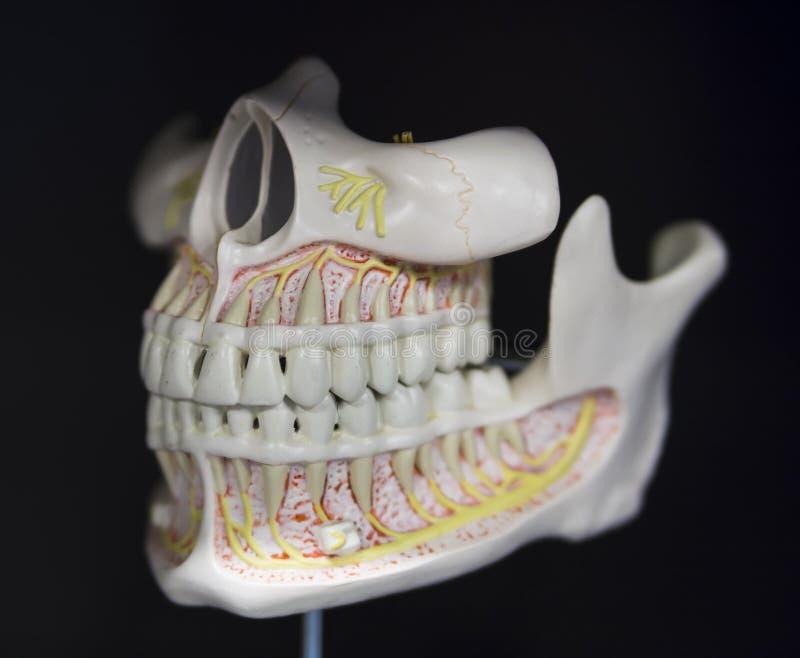 La Anatomía Del Mandíbula Del Cráneo Basó La Disposición Foto de ...