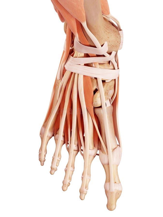 La anatomía del pie ilustración del vector