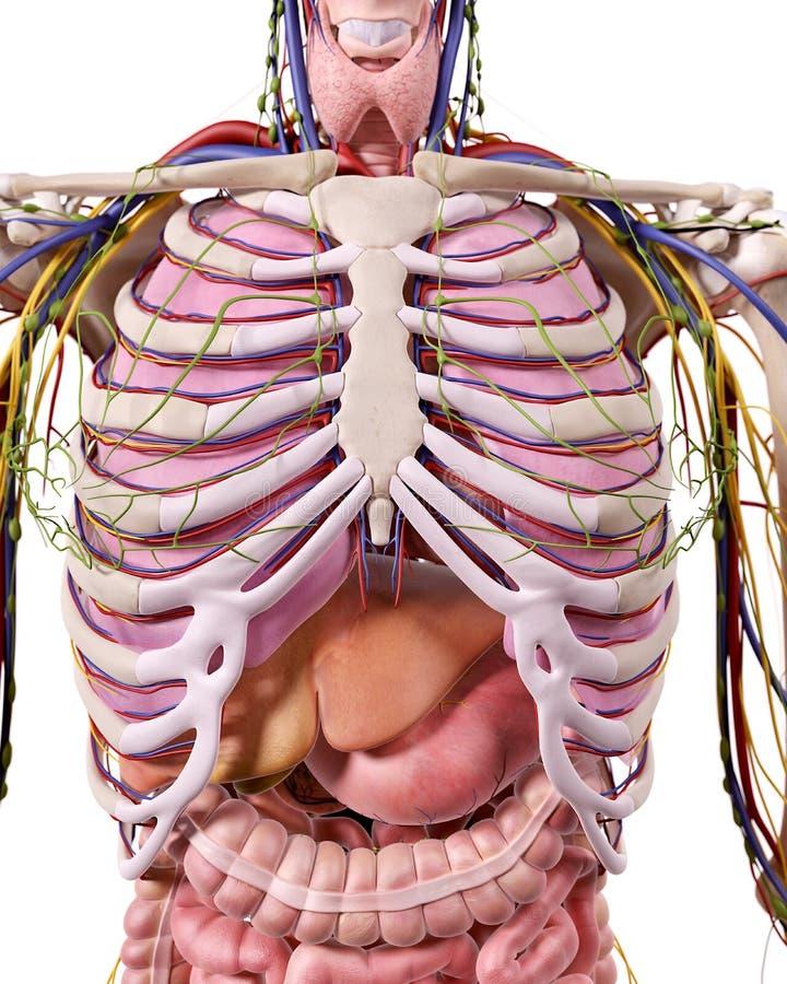 La anatomía del tórax stock de ilustración. Ilustración de ...