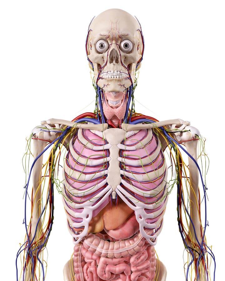 Increíble Anatomía Del Tórax Regalo - Anatomía de Las Imágenesdel ...