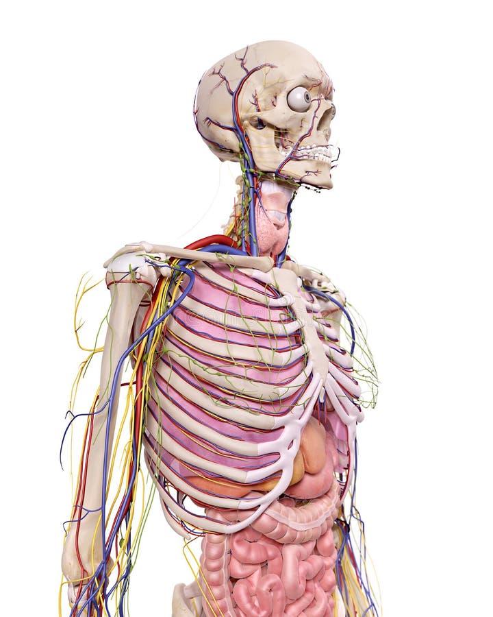 La anatomía del tórax stock de ilustración. Ilustración de varón ...