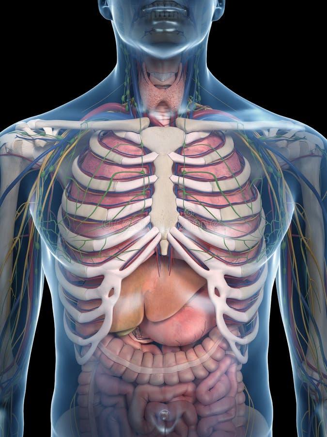 La anatomía del tórax stock de ilustración. Ilustración de negro ...