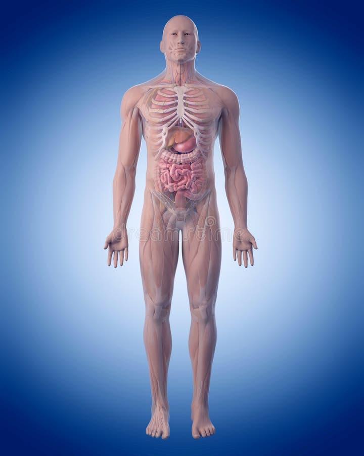 la anatomía humana stock de ilustración