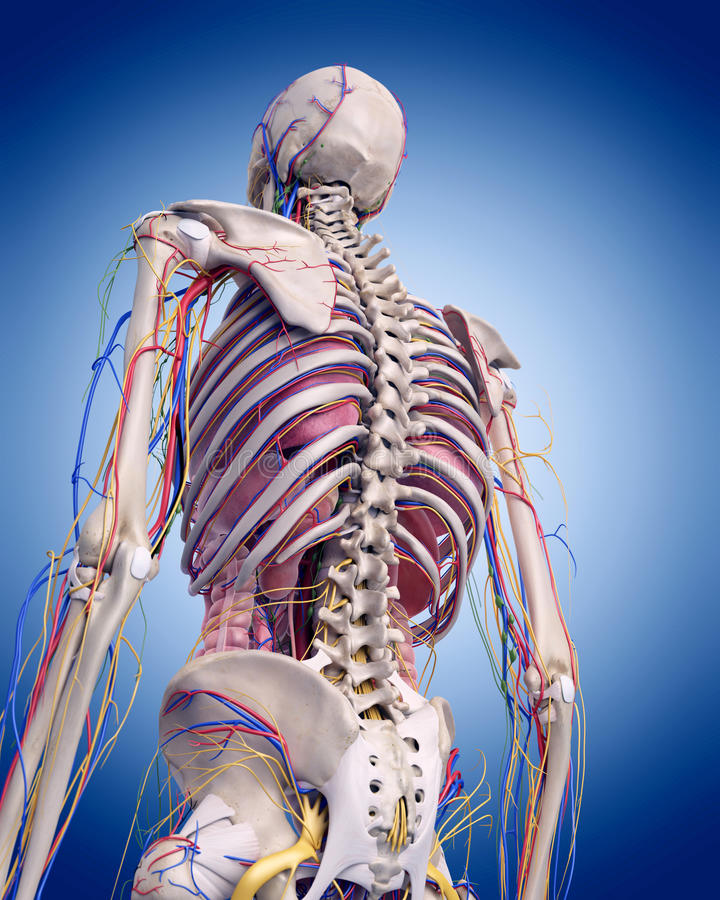 La anatomía humana stock de ilustración. Ilustración de tórax - 58829545