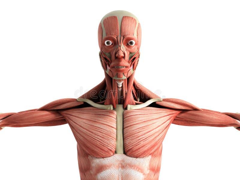 La anatomía humana 3d del músculo rinde en el frente blanco libre illustration