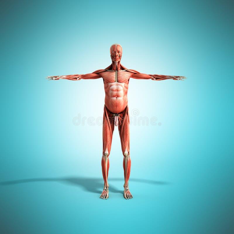 La anatomía humana 3d del músculo rinde en frente azul ilustración del vector