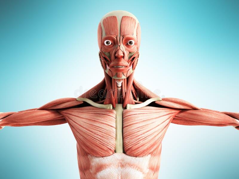 La Anatomía Humana 3d Del Músculo Rinde En Frente Azul Stock de ...