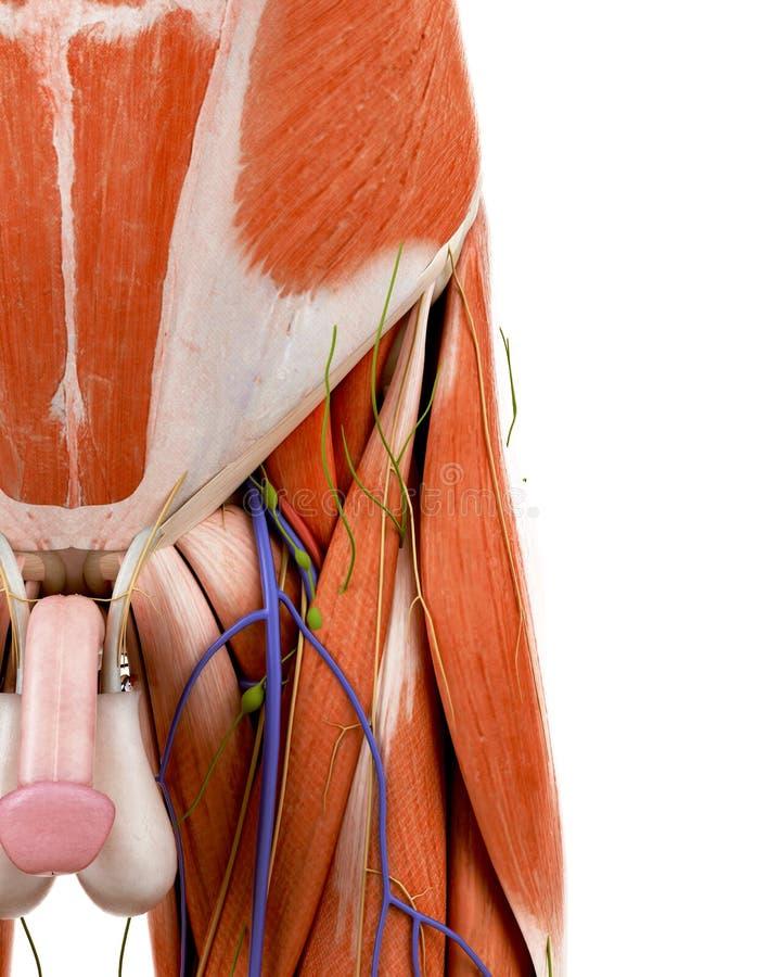 La anatomía humana de la ingle stock de ilustración
