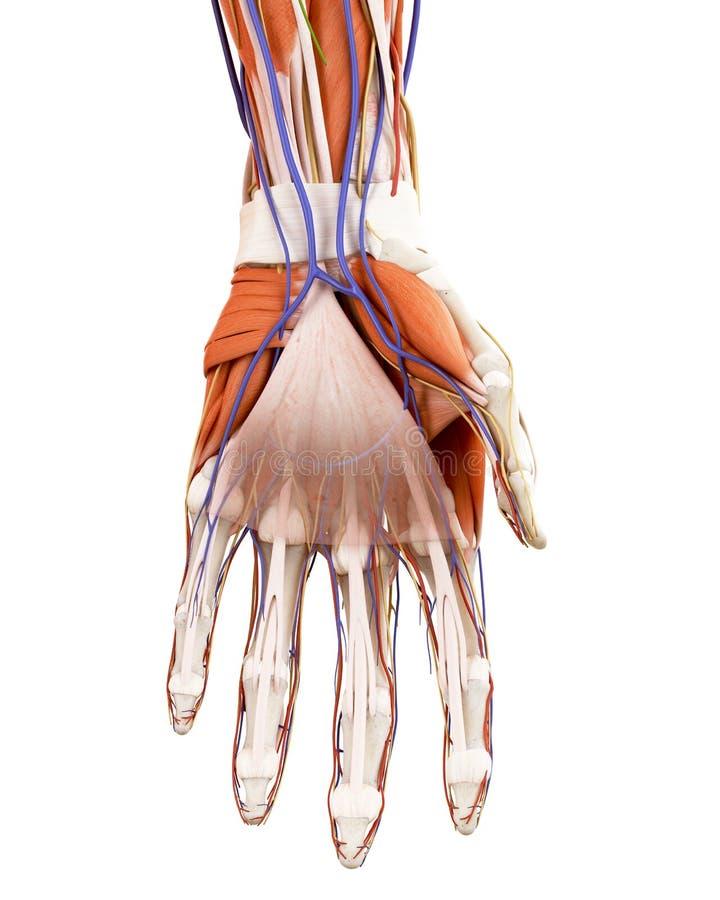 La anatomía humana de la mano ilustración del vector