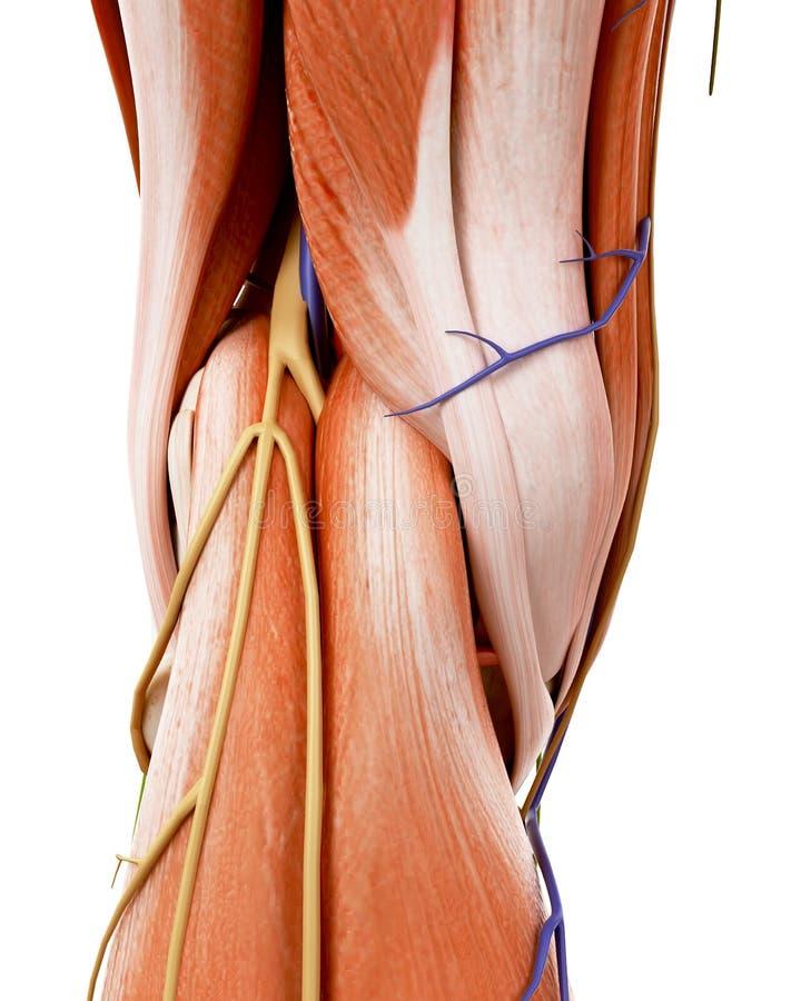 La anatomía humana de la rodilla ilustración del vector