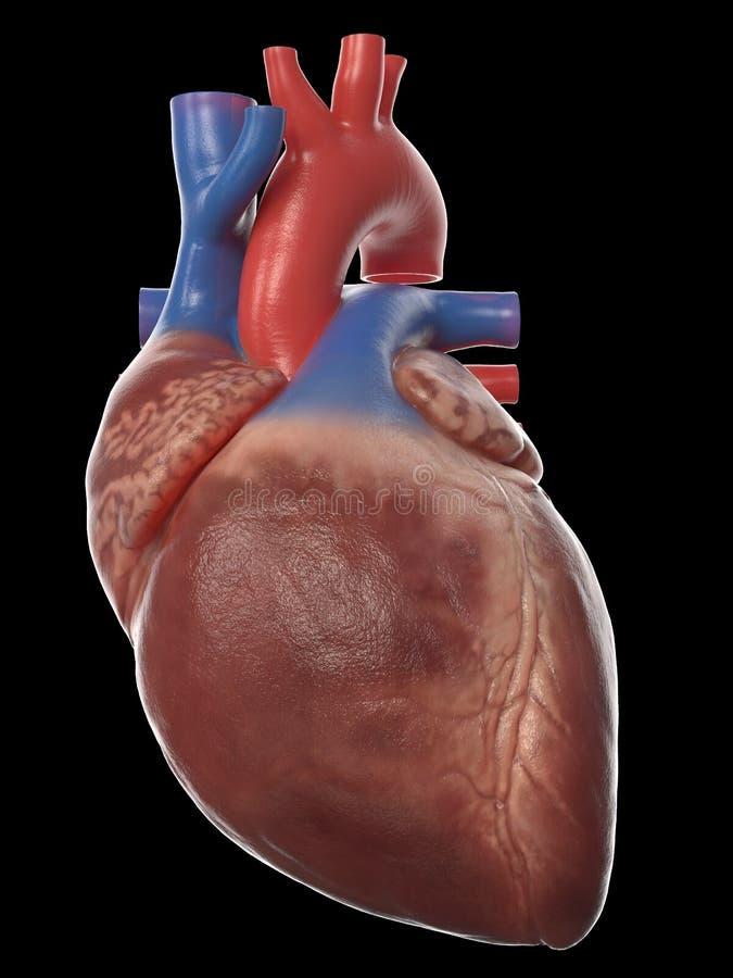 La anatomía humana del corazón ilustración del vector