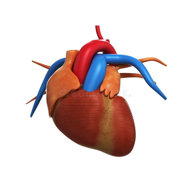 La Anatomía Humana Del Corazón Del Corazón Humano En 3d Blanco Rinde ...