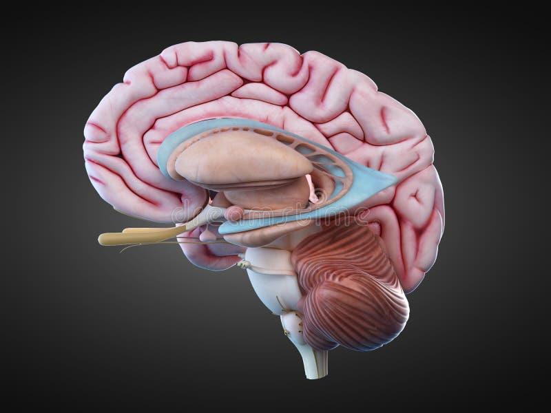 La anatomía interna del cerebro stock de ilustración
