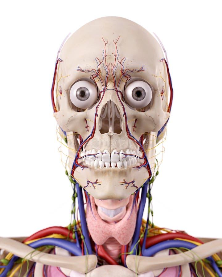 La anatomía principal libre illustration
