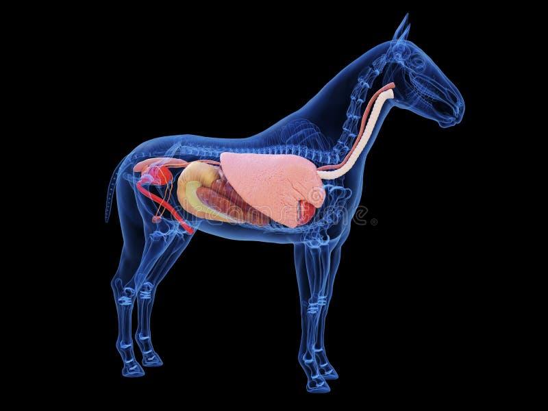 La anatom?a del caballo ilustración del vector