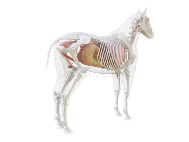 La anatom?a del caballo libre illustration