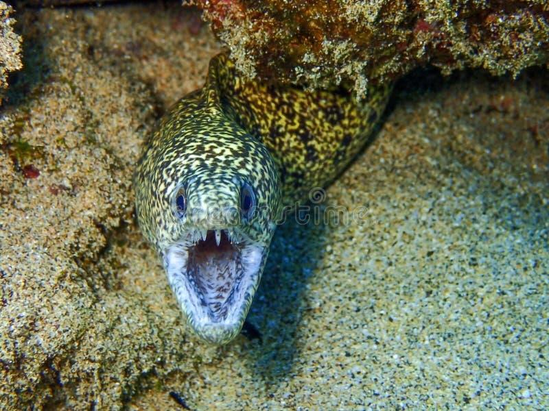 La anguila muestra sus dientes en Maui Hawaii imagen de archivo libre de regalías