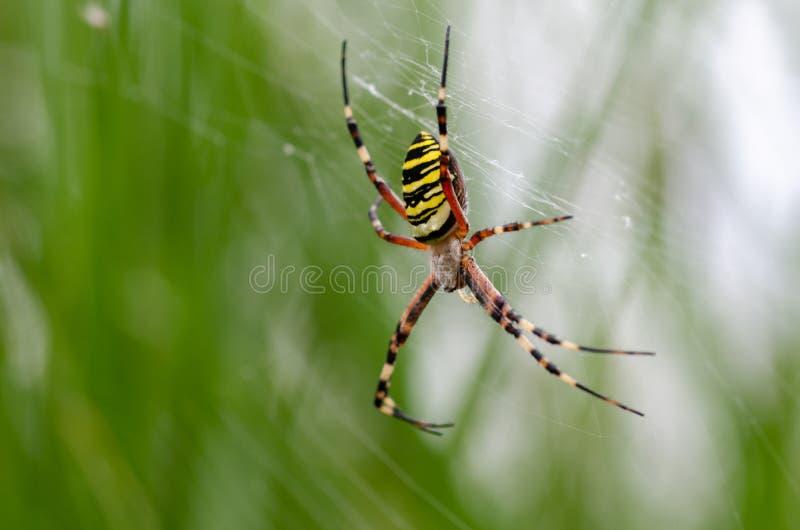 La araña amarilla y negra en su web de araña en luz natural aventaja fotos de archivo