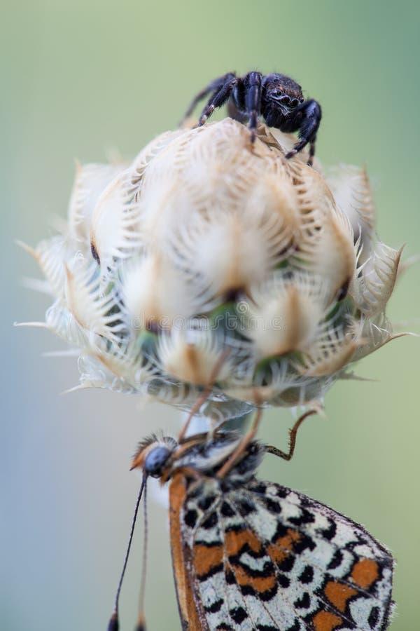 La araña caza la mariposa imagen de archivo libre de regalías