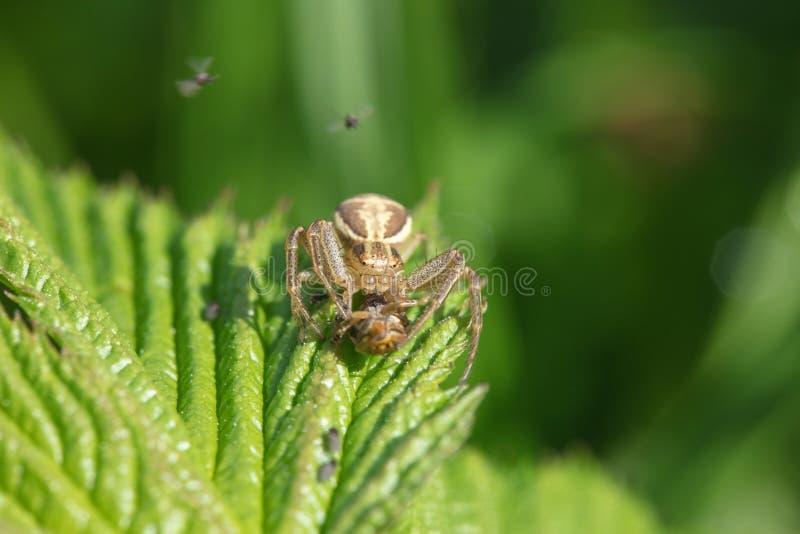 La araña cogió su presa y la come que se sentaba en una planta verde imagenes de archivo