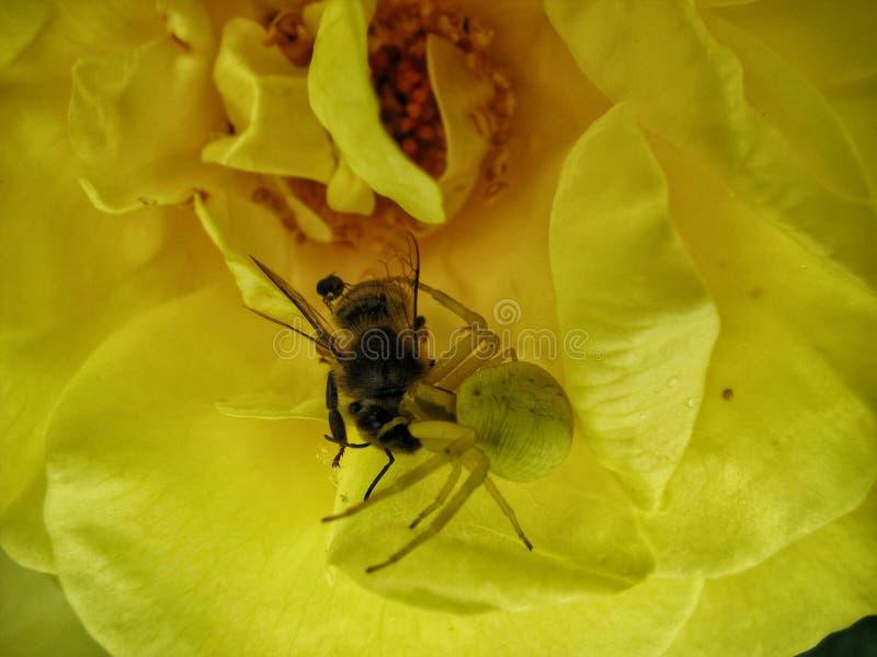La araña come foto de archivo libre de regalías