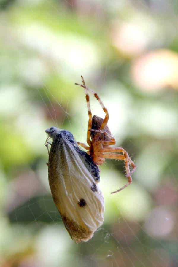 La araña come la mariposa fotos de archivo libres de regalías