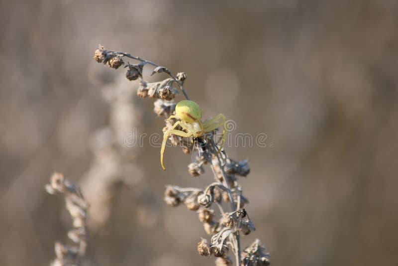 La araña come una hormiga fotos de archivo libres de regalías