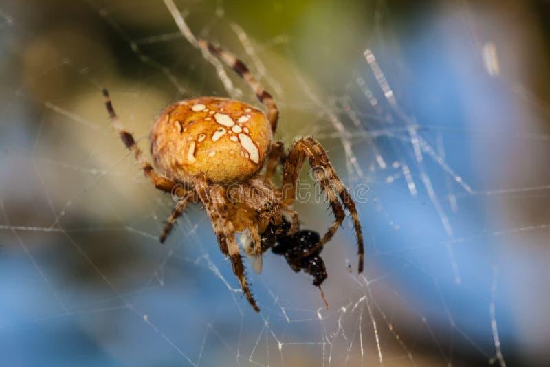 La araña come una mosca en un capullo en la web fotografía de archivo
