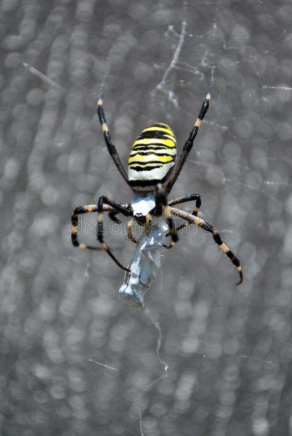 La araña de la avispa del bruennichi del Argiope femenina en web que se sostiene y trenza a su víctima con las telarañas fotografía de archivo