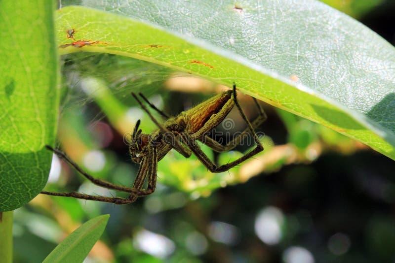 La araña de caza está al acecho camuflado bien en su ocultación imagen de archivo libre de regalías