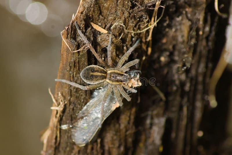 La araña de Dolomedes come una libélula que se sienta en un tablero imagenes de archivo