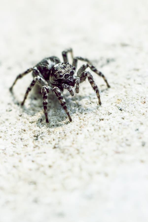 La araña de la cebra, scenicus de Salticus imagenes de archivo