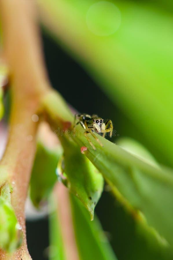 La araña de salto imagen de archivo libre de regalías