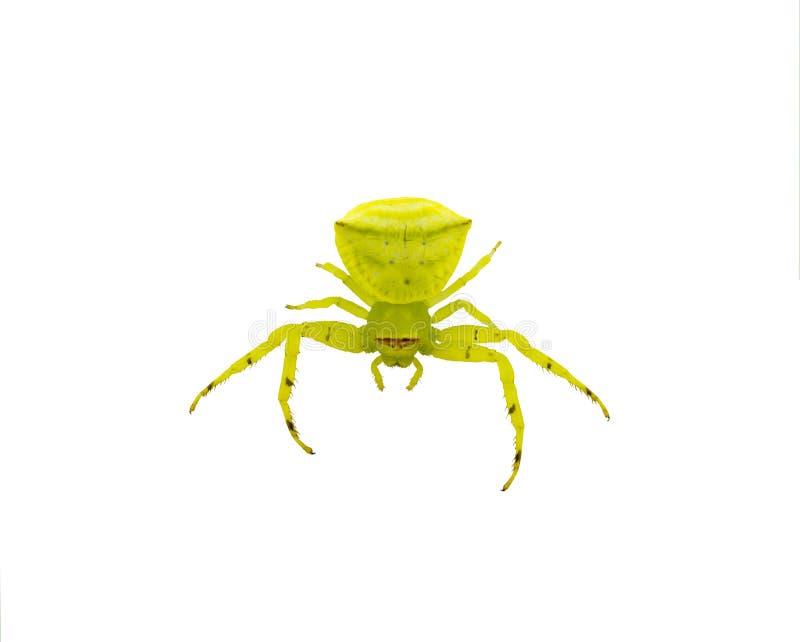 La araña del cangrejo amarillo y verde aisló imagen de archivo