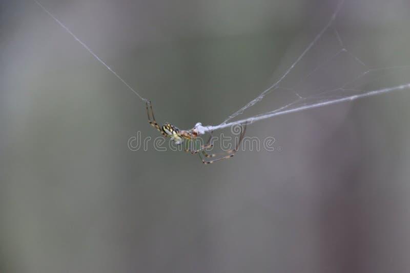 La araña que lo repara es web fotos de archivo libres de regalías