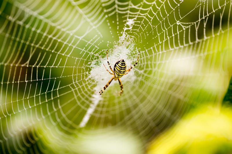 La araña se sienta en un web mojado imagen de archivo libre de regalías