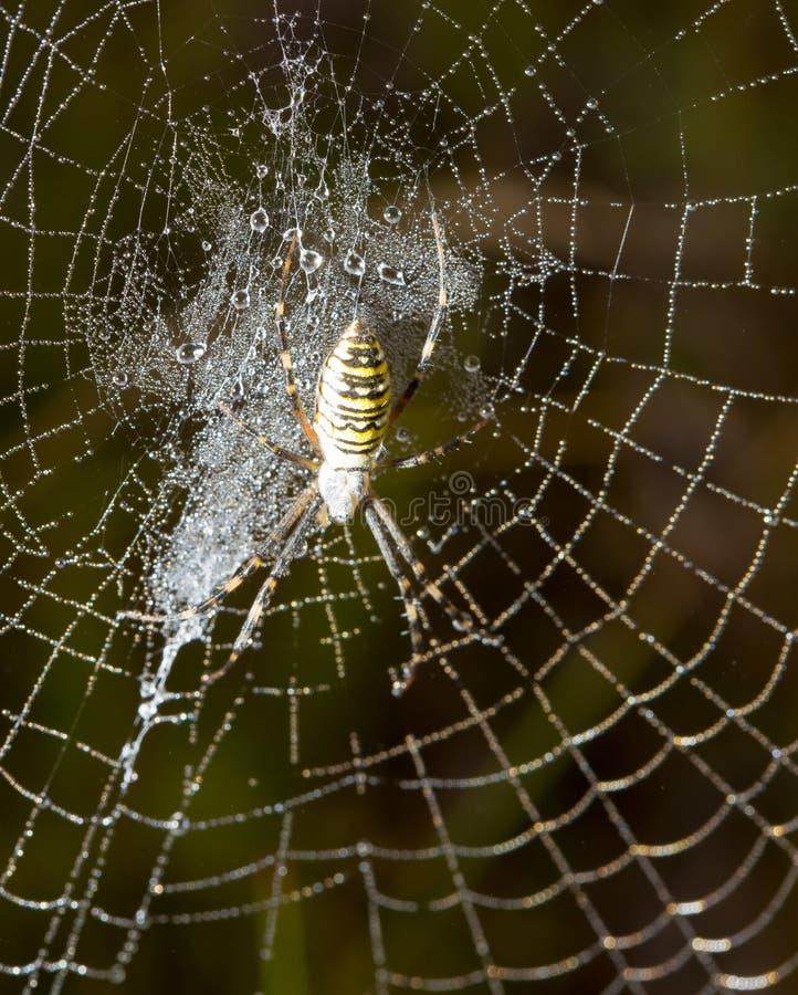 La araña se sienta en un web mojado foto de archivo libre de regalías