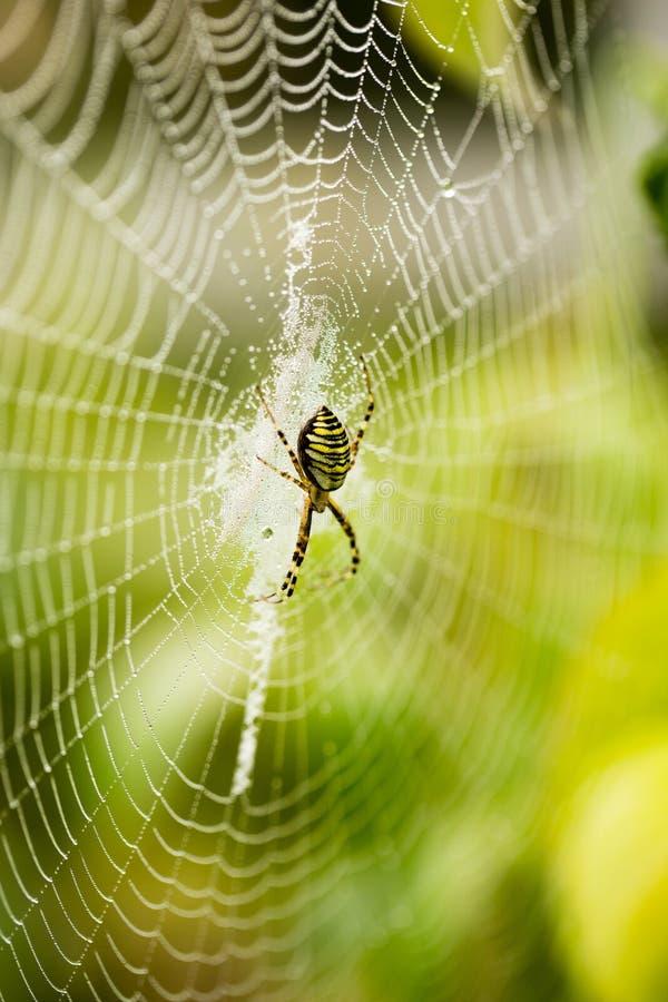 La araña se sienta en un web mojado fotografía de archivo