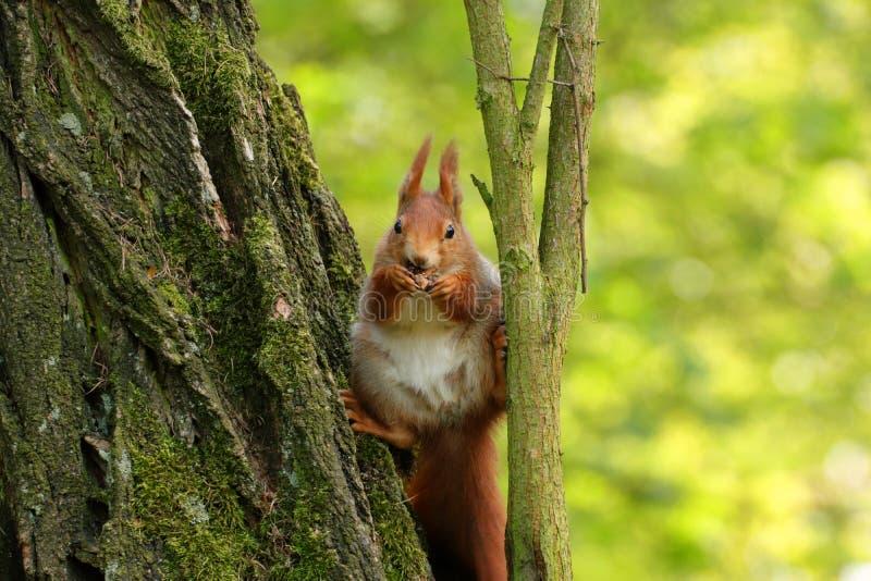 La ardilla de Brown come y se sienta en el árbol fotos de archivo