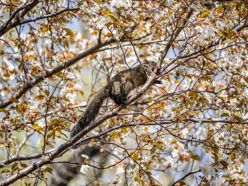 La ardilla de Pallas en un cerezo japon?s 1 imagenes de archivo