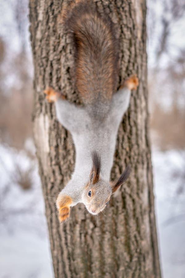 La ardilla en invierno cuelga en un árbol al revés imagen de archivo libre de regalías