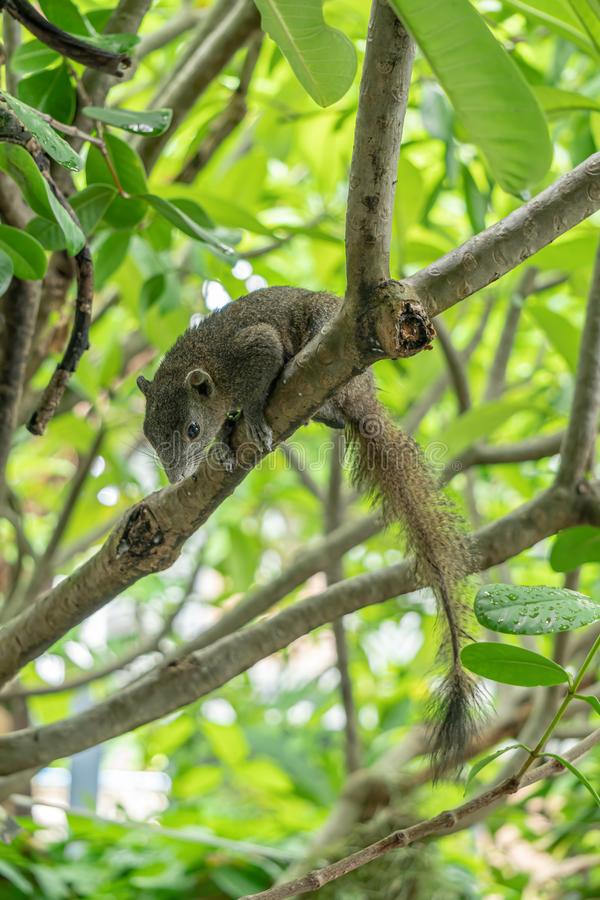 La ardilla marrón está en el árbol del frangipani Miraba adelante fotos de archivo