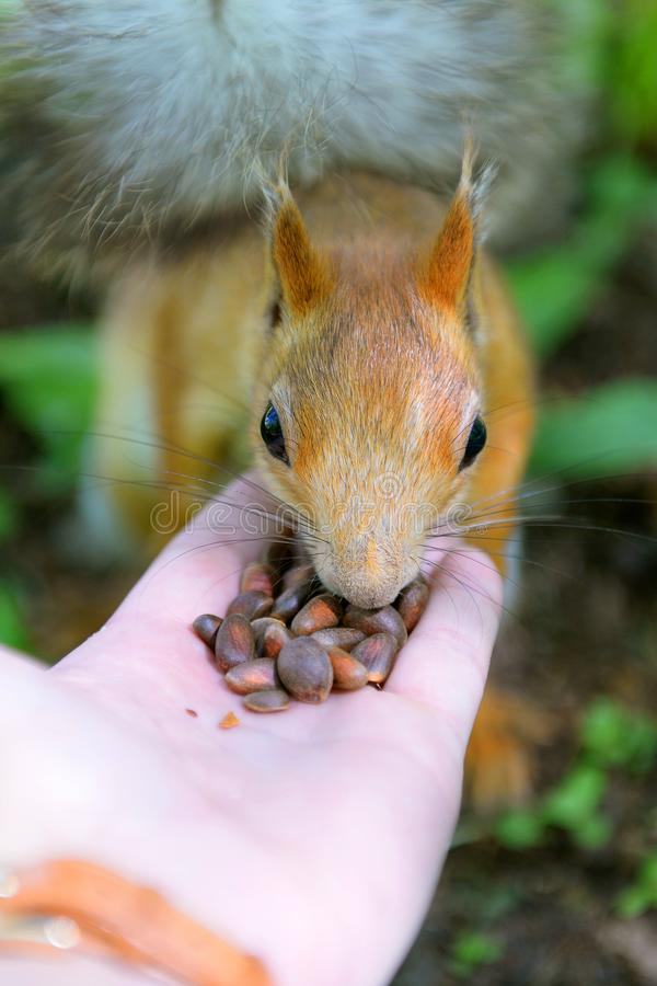 La ardilla pelirroja come nueces de pino con las manos imágenes de archivo libres de regalías