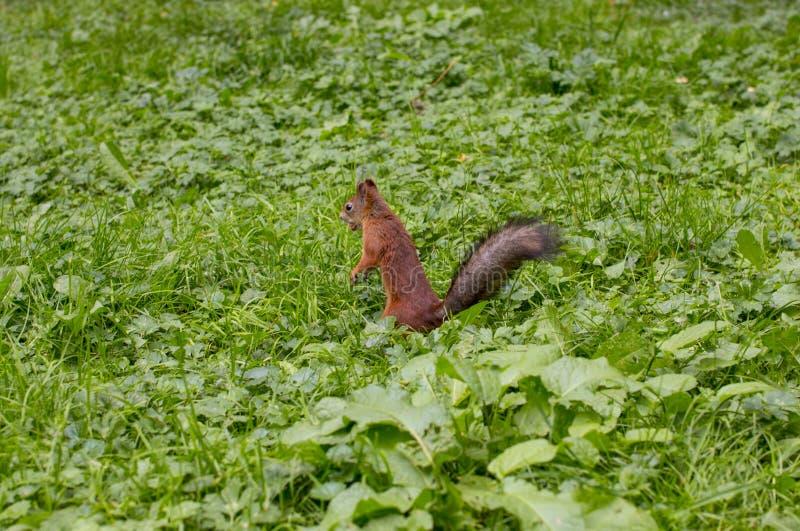La ardilla roja come las nueces imagenes de archivo