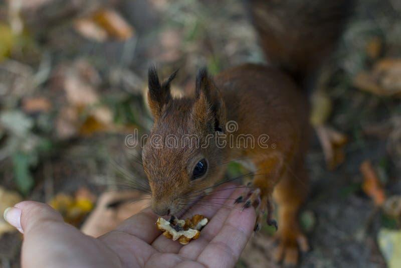 La ardilla roja come las nueces fotografía de archivo